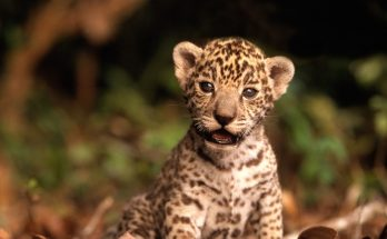 baby jacksonville jaguars