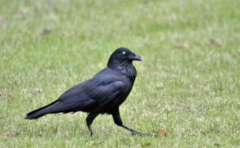 baltimore ravens running back sleeper