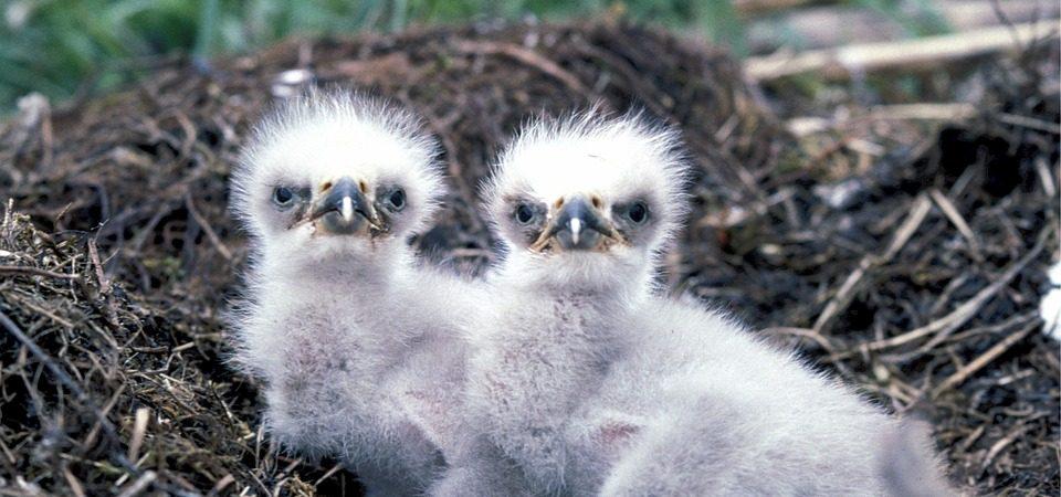 baby eagles
